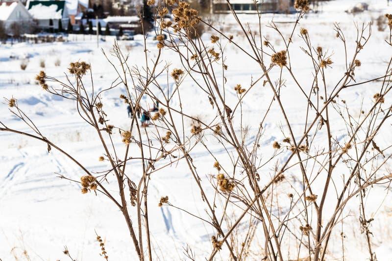 torkad tistel på banken av den djupfrysta floden i Suzdal royaltyfria bilder