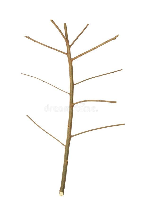 Torkad trädfilial royaltyfria foton