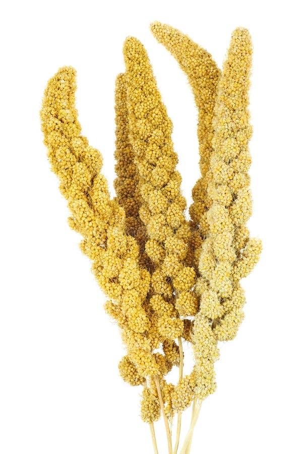 Torkad växt för grön foxtail royaltyfri foto