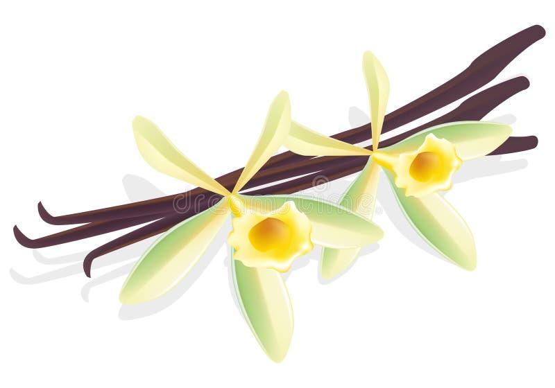 torkad vektor för vanilj för blommaillustrationfröskidor royaltyfri illustrationer
