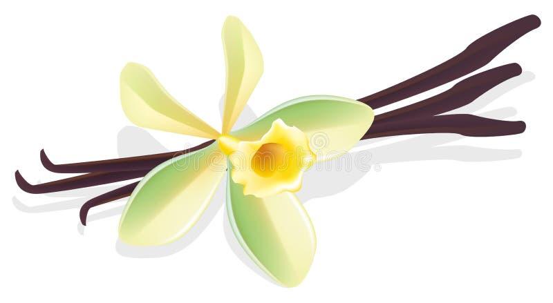 torkad vektor för vanilj för blommaillustrationfröskidor stock illustrationer