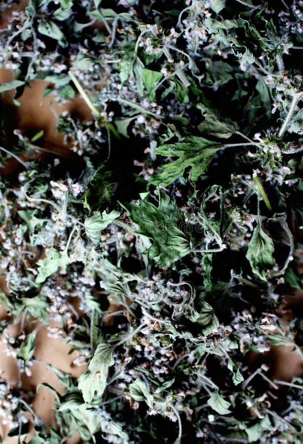 Download Torkade Blommor Av En Motherwort Arkivfoto - Bild av leaf, blom: 78726008