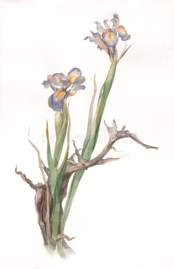 torkade blommor iris målningsvattenfärg royaltyfri illustrationer