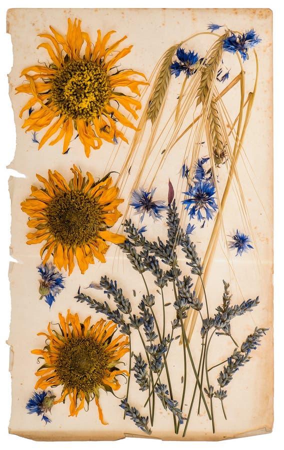 Torkade blommor på det åldriga pappers- arket herbarium av solrosor, havre royaltyfri foto