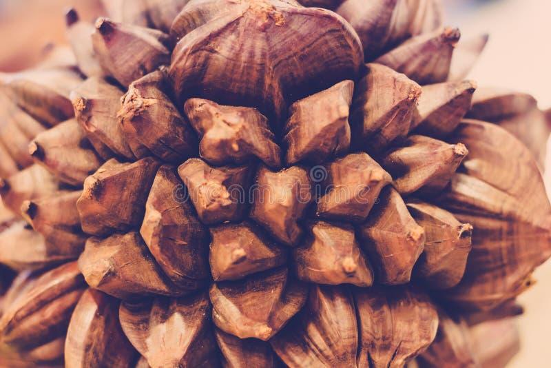 Torkade bruna kokosnötter bär frukt under royaltyfri fotografi