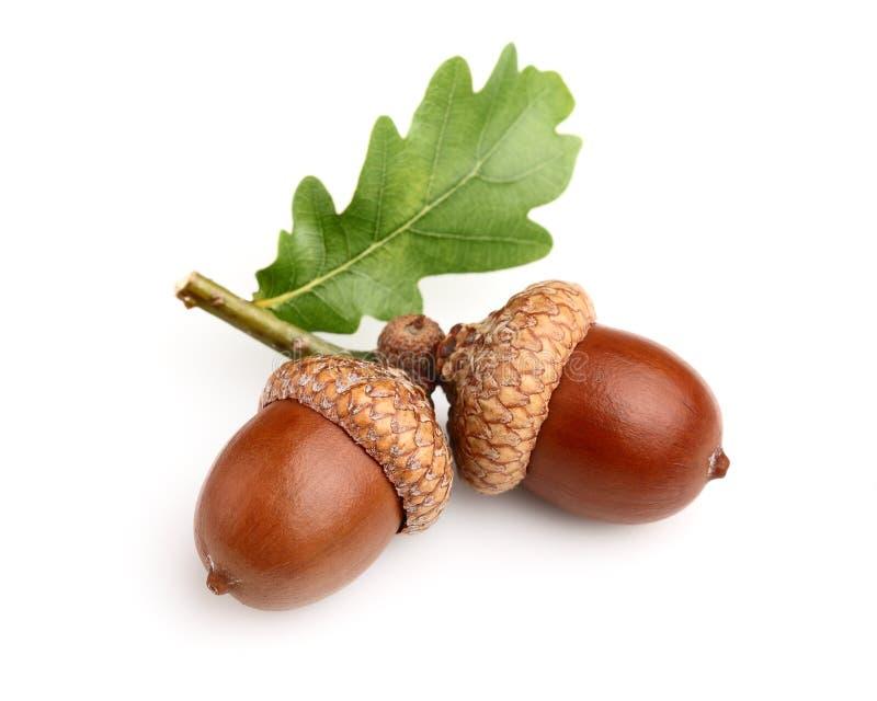 Download Torkade Ekollonar Med Leafen Arkivfoto - Bild av green, frukt: 27287328