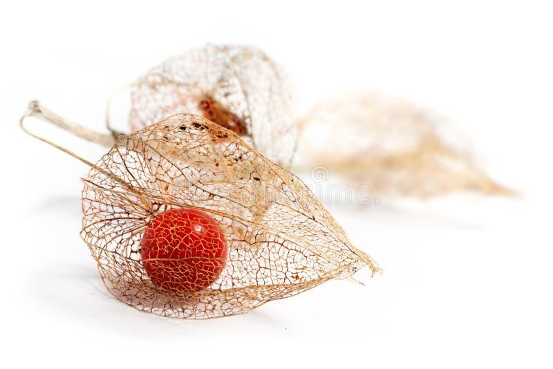 Torkade frukter för Physalis som kinesisk lykta isoleras på den vita backgrouen arkivfoton