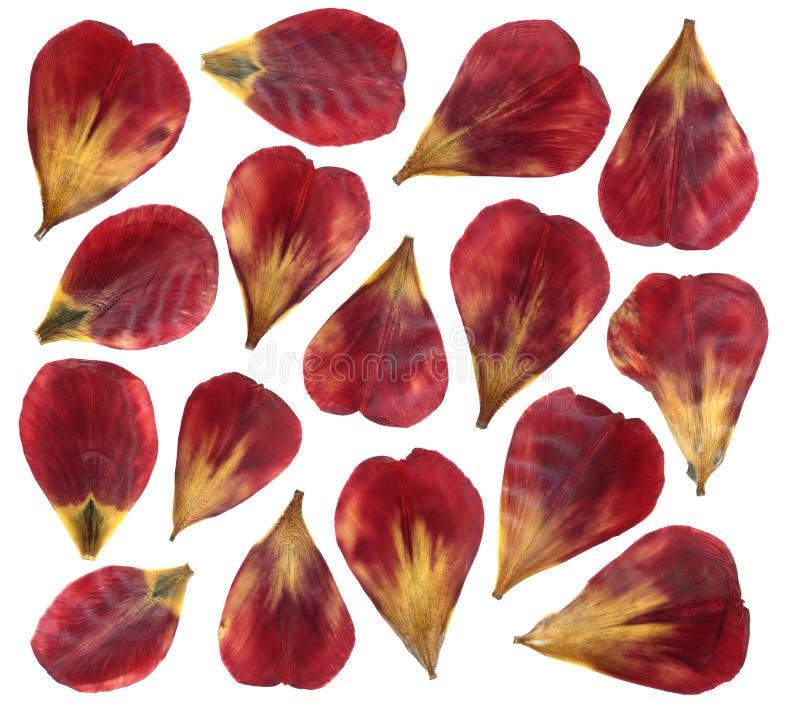 Torkade och pressande kronblad av tulpanblomman bakgrund isolerad white arkivfoton