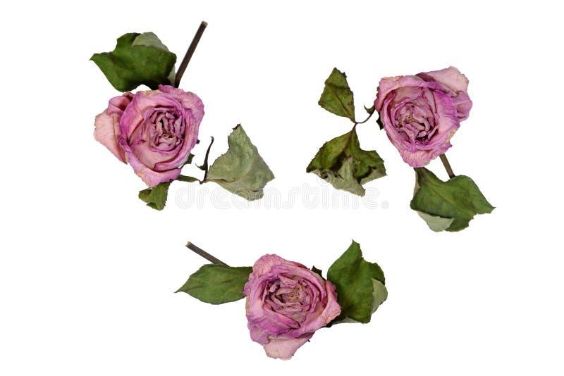 Torkade rosa rosor som isoleras på vit bakgrund arkivfoto