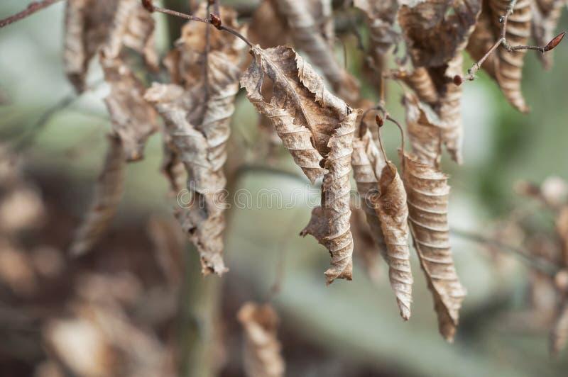 Torkade sidor av Carpinus Betulus i häck fotografering för bildbyråer