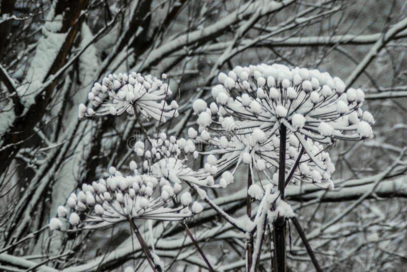 Torkade umbels av hogweed laddat med snö arkivbilder