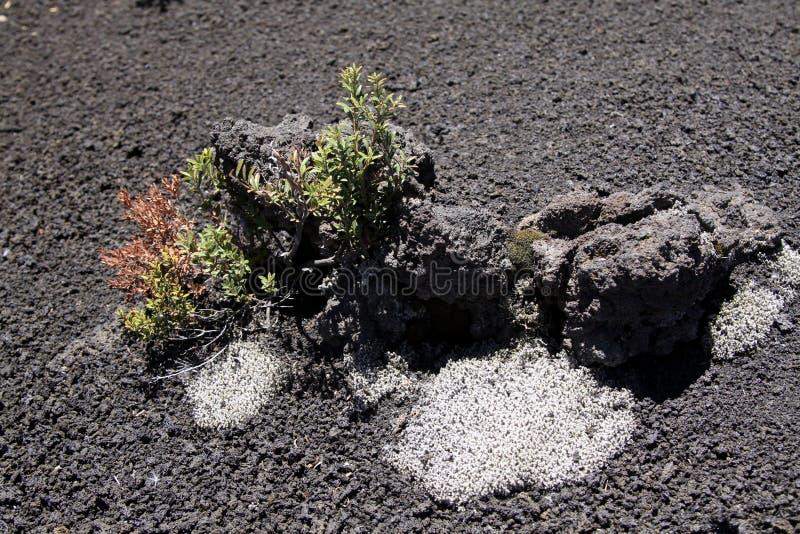 torkade växter på svart vulkanisk aska i centrala Chile arkivbilder