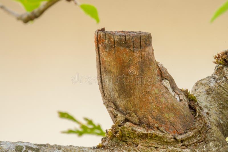 Torkat cutted fragment för äppleträdfilial royaltyfri bild