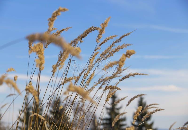 Torkat gräs blommar, eller växter, äng blommar royaltyfria foton