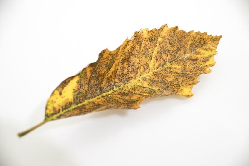 Torkat höstblad av ett kastanjebrunt träd mycket av detaljer in royaltyfri fotografi