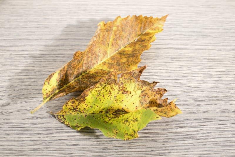 Torkat höstblad av ett kastanjebrunt träd mycket av detaljer på ett trä t royaltyfri foto