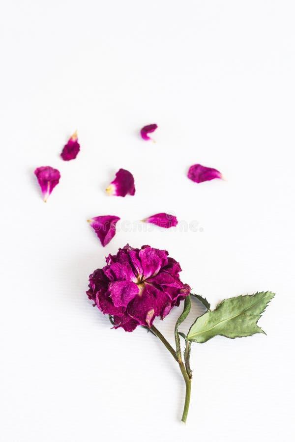 Torkat med steg att falla kronblad på vit bakgrund royaltyfri bild