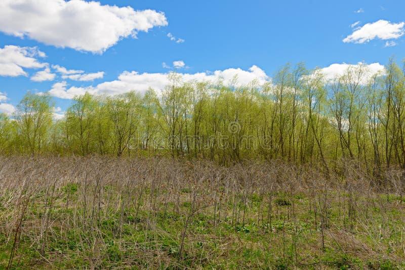 Torkat sista års gräs på bakgrunden av den unga gröna vårdagen royaltyfria bilder