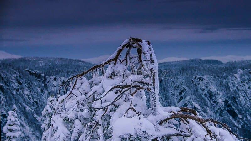Torkat träd på det insnöat vintersäsongen arkivbild