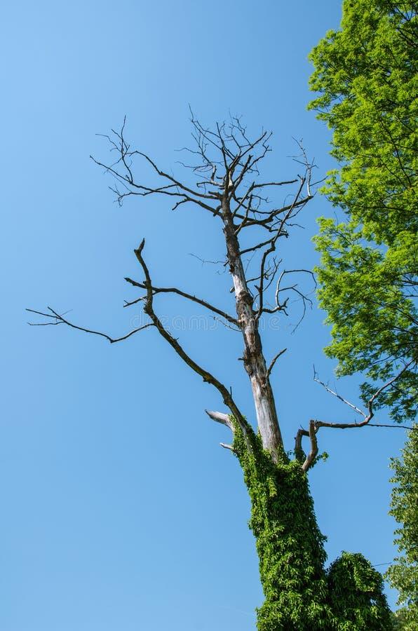 Torkat - ut finns i överflöd trädet som ses från bröl, av grön vegetation på blå himmel för sommarfrikänden royaltyfria foton