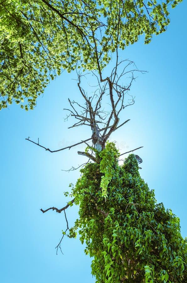 Torkat - ut finns i överflöd trädet som ses från bröl, av grön vegetation på blå himmel för sommarfrikänden arkivbild