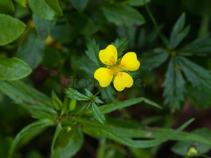 Tormentil ou macro da flor do ereta do Potentilla do septfoil, foco seletivo, DOF raso fotografia de stock royalty free