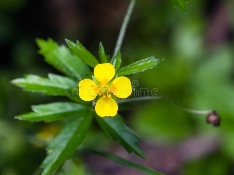 Tormentil or septfoil Potentilla erecta flower macro, selective focus, shallow DOF.  royalty free stock images