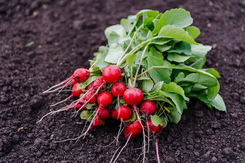 Torn with the beds of ripe red radishes stock image