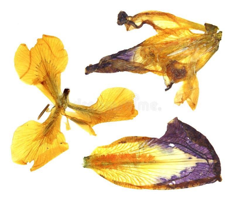 Torne iridescente a perspectiva seca amarela e azul brilhante, fl pressionado delicado foto de stock royalty free