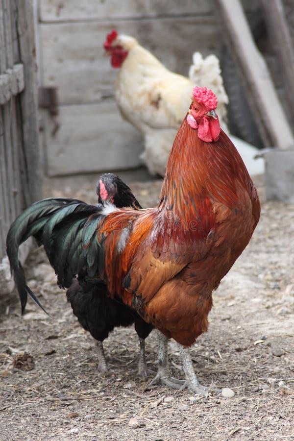 A torneira com galinhas fotografia de stock royalty free