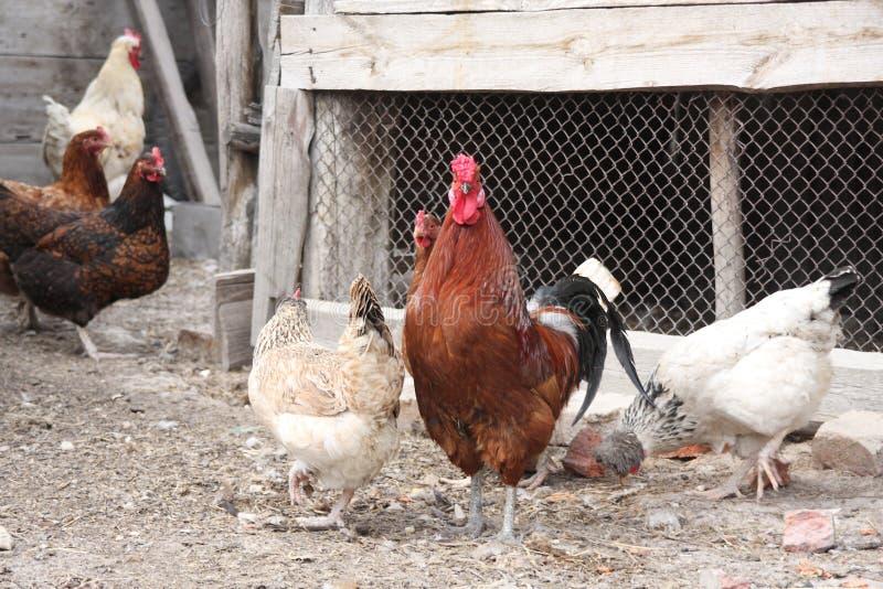 A torneira com galinhas foto de stock royalty free