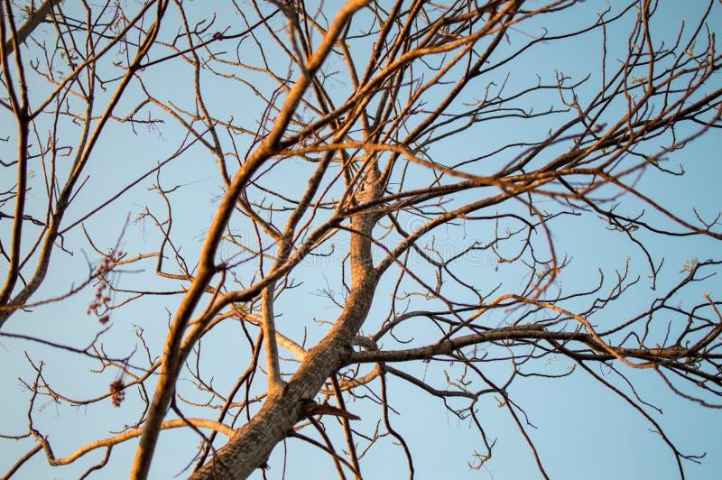 Torneiras de árvores secas imagens de stock royalty free