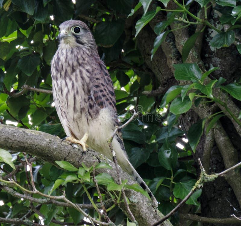 Tornfalk som håller ögonen på och väntar, bland träden arkivfoton