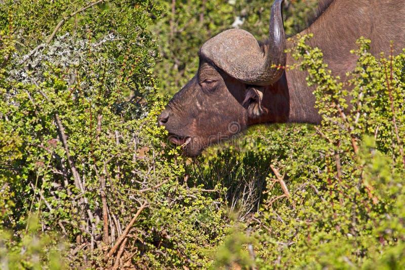 Toro africano della Buffalo che mangia cespuglio succulente fotografia stock libera da diritti