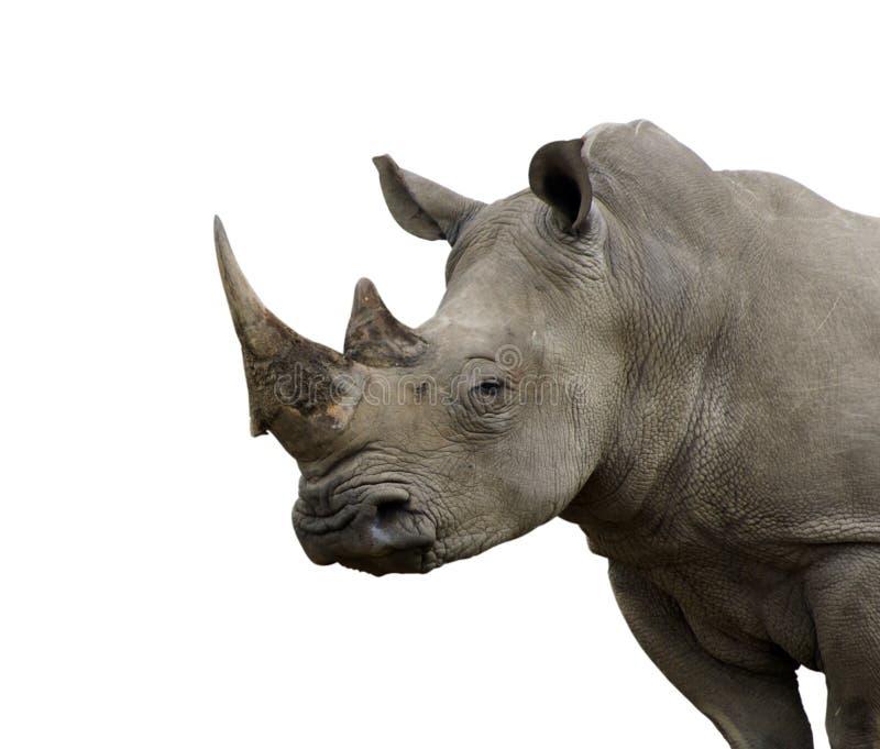 Toro aislado del rinoceronte fotos de archivo