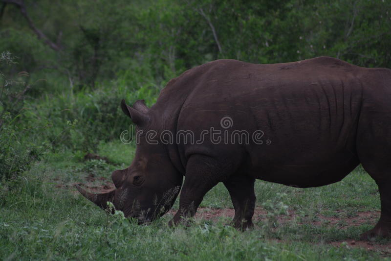 Toro bianco africano 2 di rinoceronte fotografia stock