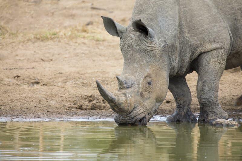 Toro blanco solitario del rinoceronte que se coloca en el borde de un lago para beber fotografía de archivo libre de regalías
