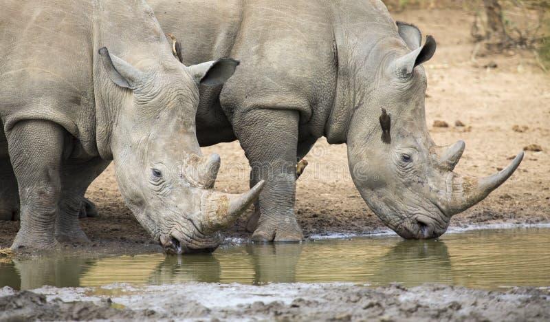 Toro blanco solitario del rinoceronte que se coloca en el borde de un lago para beber fotos de archivo libres de regalías