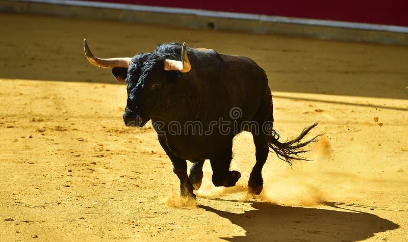 Toro coraggioso in arena con i grandi corni fotografia stock libera da diritti