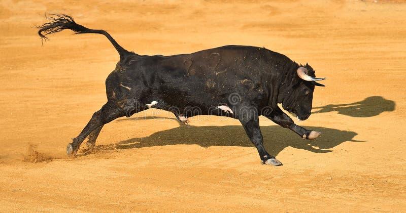 Toro coraggioso in arena con i grandi corni fotografie stock libere da diritti