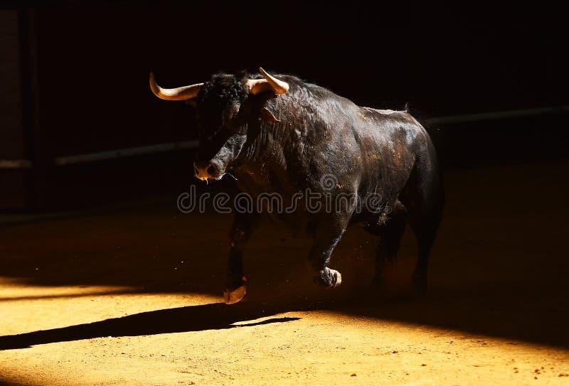 Toro coraggioso in arena con i grandi corni fotografia stock