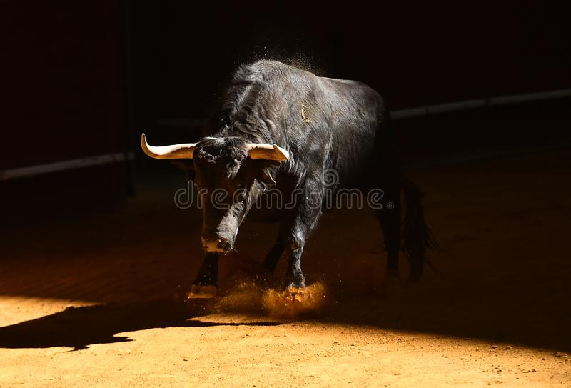 Toro coraggioso in arena con i grandi corni immagine stock libera da diritti