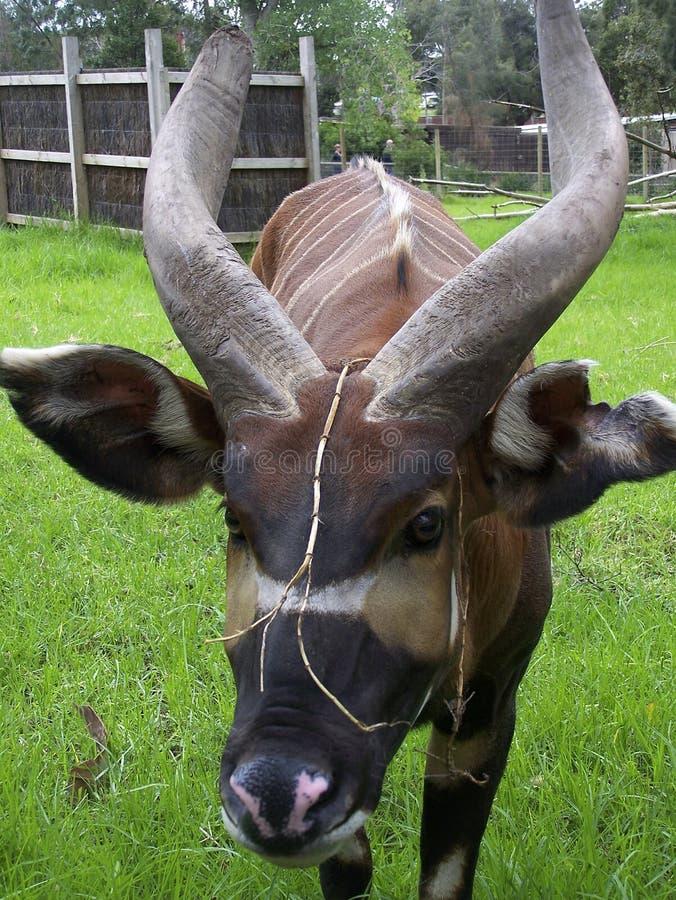 Toro cornuto lungo con a strisce indietro fotografie stock libere da diritti