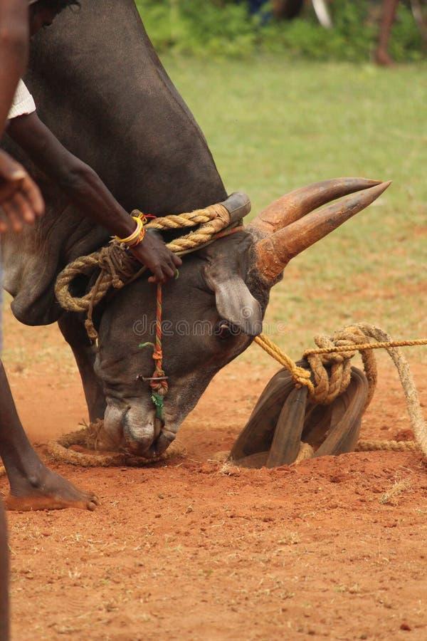 Toro de Jallikattu en la India fotos de archivo