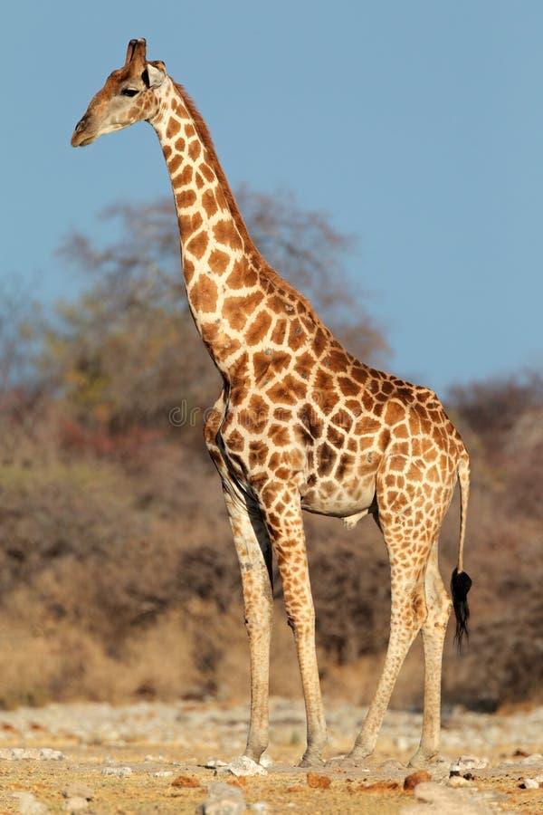 Toro de la jirafa imagen de archivo imagen de puntos for Taxonomia de la jirafa