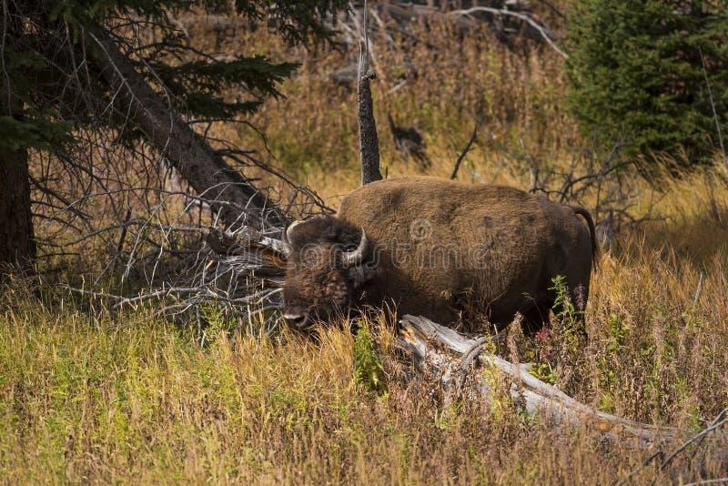Toro del bisonte que forrajea para la comida en bosque imagen de archivo