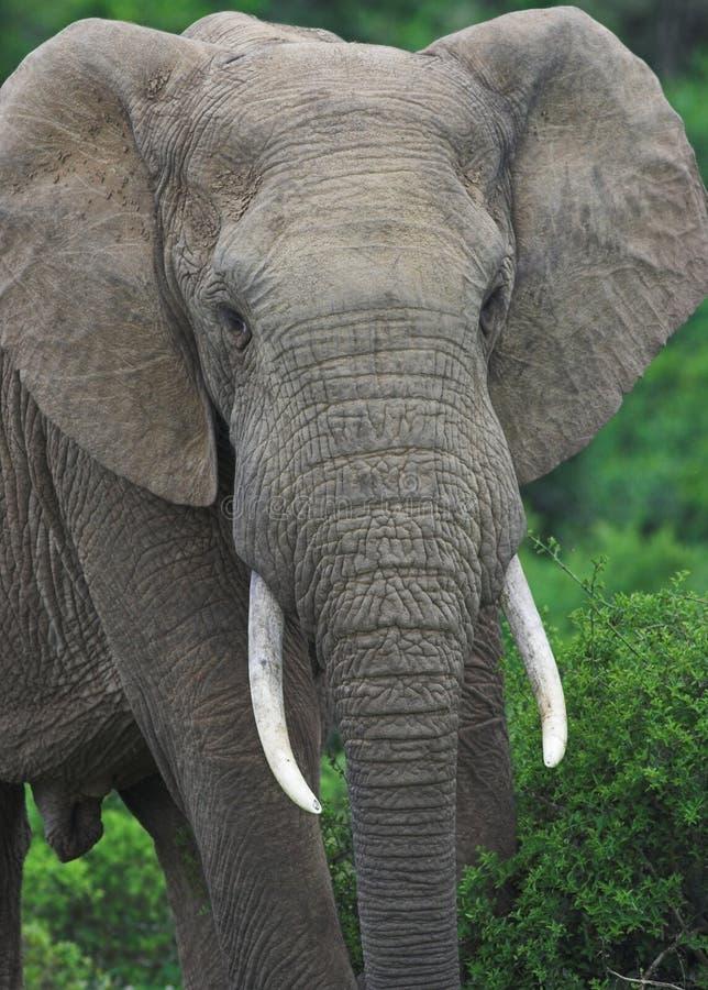 Toro del elefante imagen de archivo libre de regalías