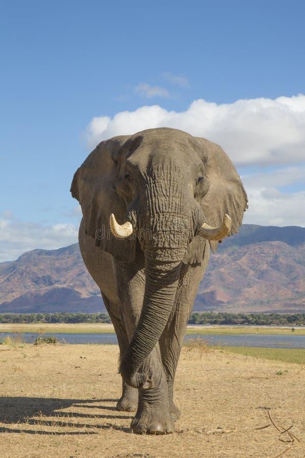 Toro del elefante africano (africana del Loxodonta) que camina hacia la c fotos de archivo