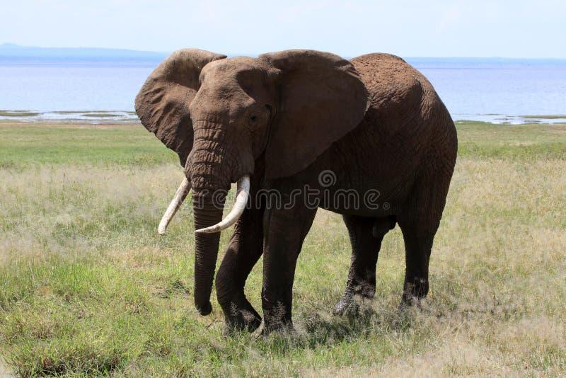 Toro del elefante en el lago Manyara fotografía de archivo