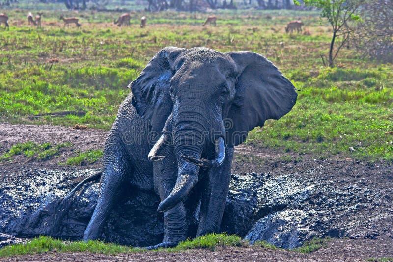 Toro dell'elefante che ha un bagno di fango immagini stock libere da diritti